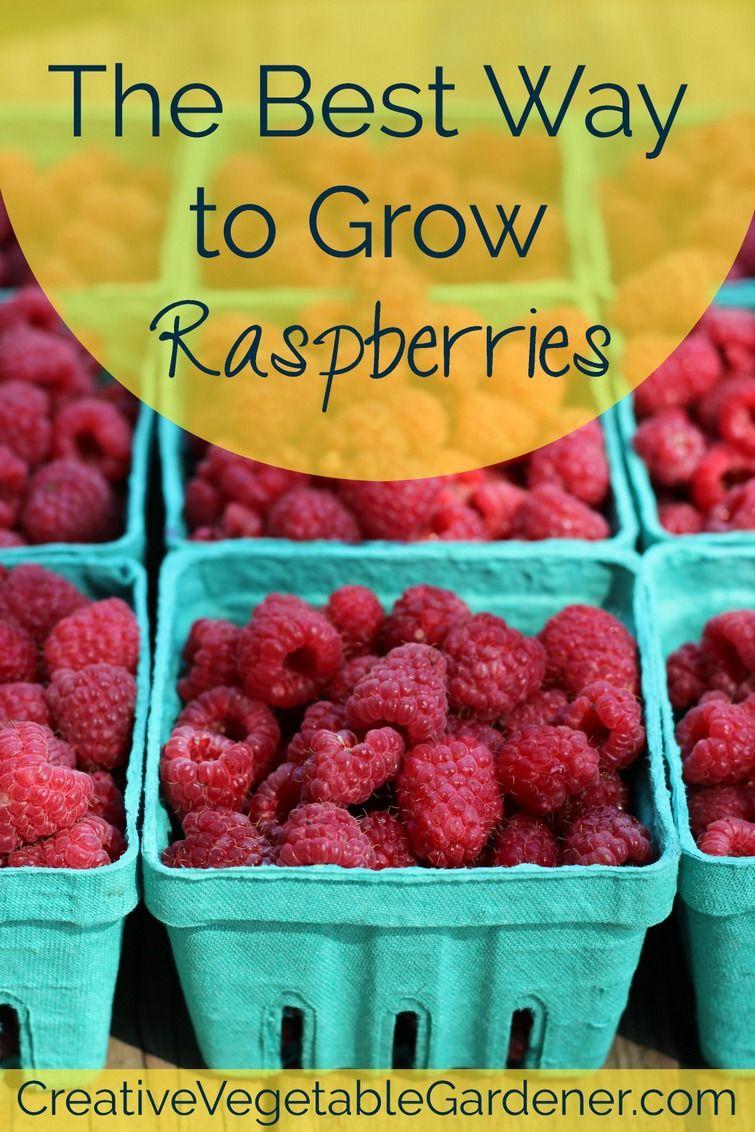 Plant Raspberry Canes For A Fruitful Summer Harvest Creative Vegetable Gardener Growing Raspberries Raspberry Plants Berry Garden