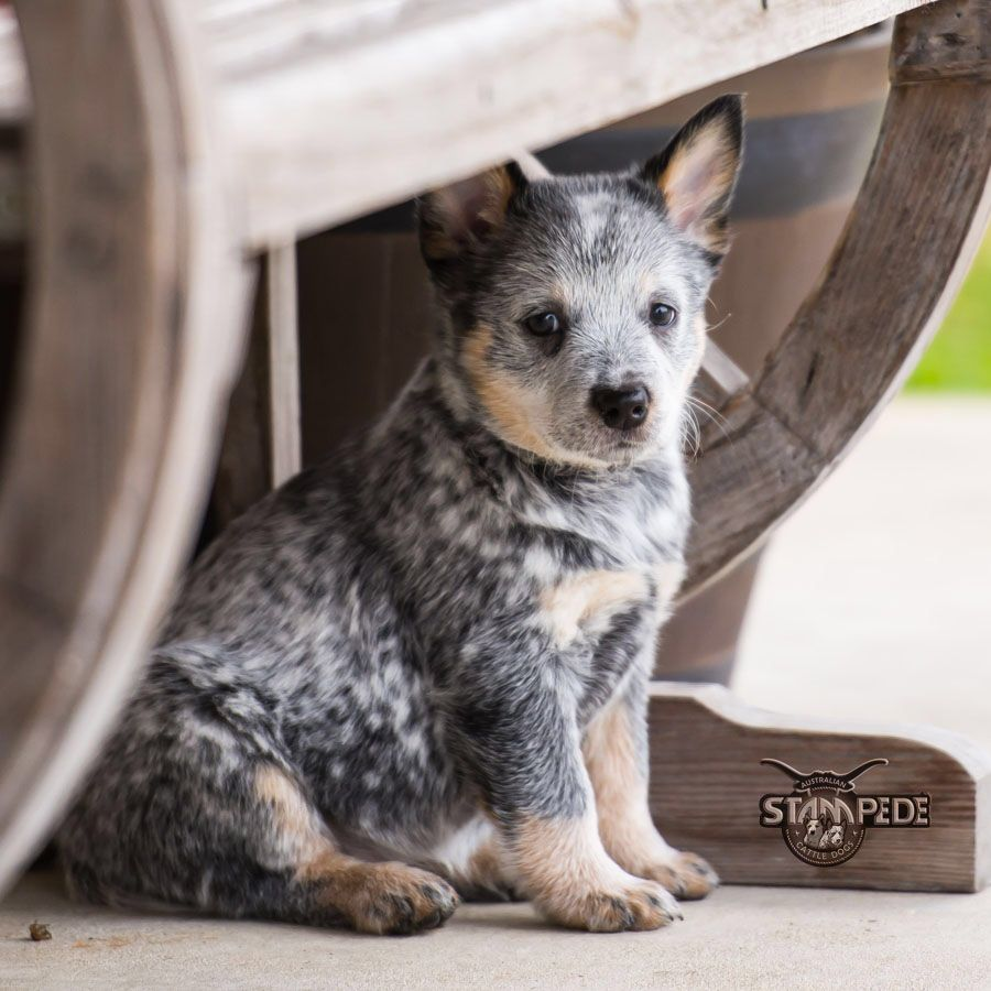 Australian Cattle Dog Blue Heeler Puppy Dogs Heeler