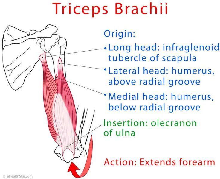 Triceps brachii anatomy and test (video)   nursing   Pinterest ...