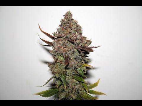 Original Skunk 1 - Seedsman - Cannabis grow journal Trichome World & Original Skunk 1 - Seedsman - Cannabis grow journal Trichome World ...