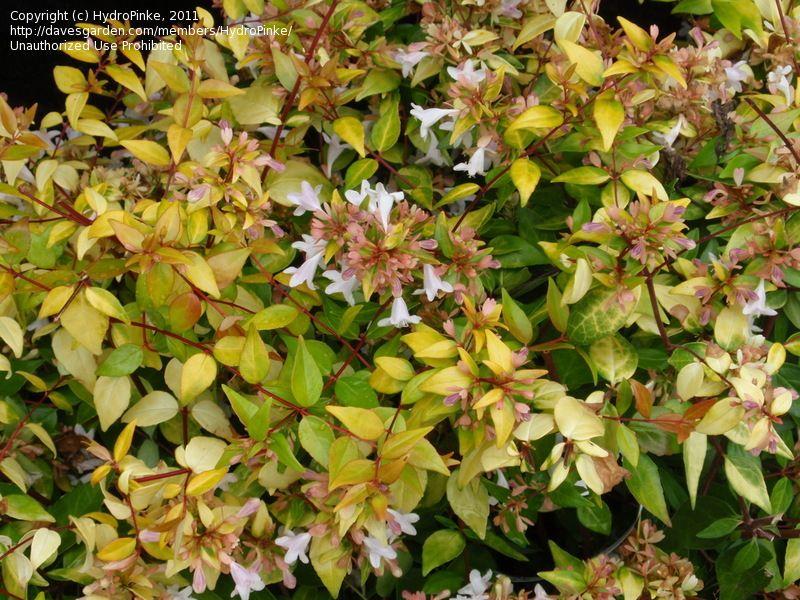 Abelia Francis Mason Full Sun Shrub This Plant Is Attractive To