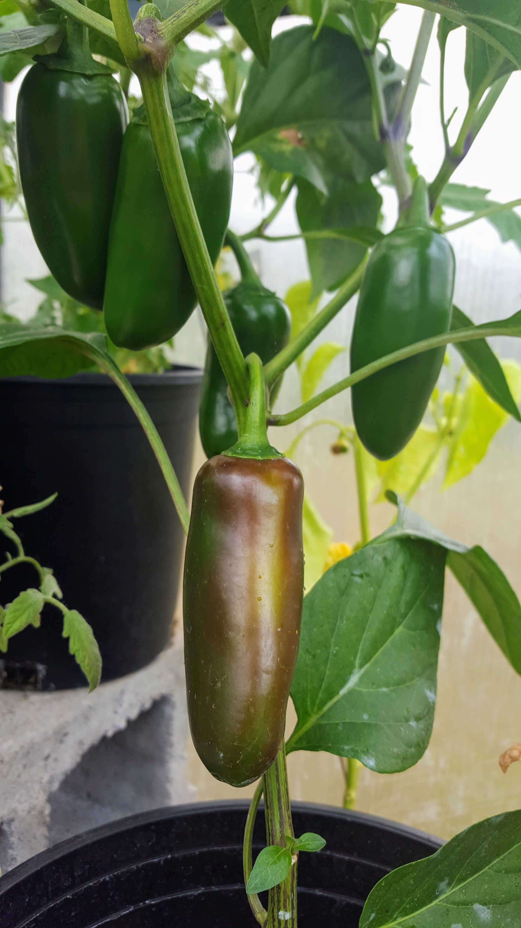 How to grow jalapenos preserve your harvest jalapeno