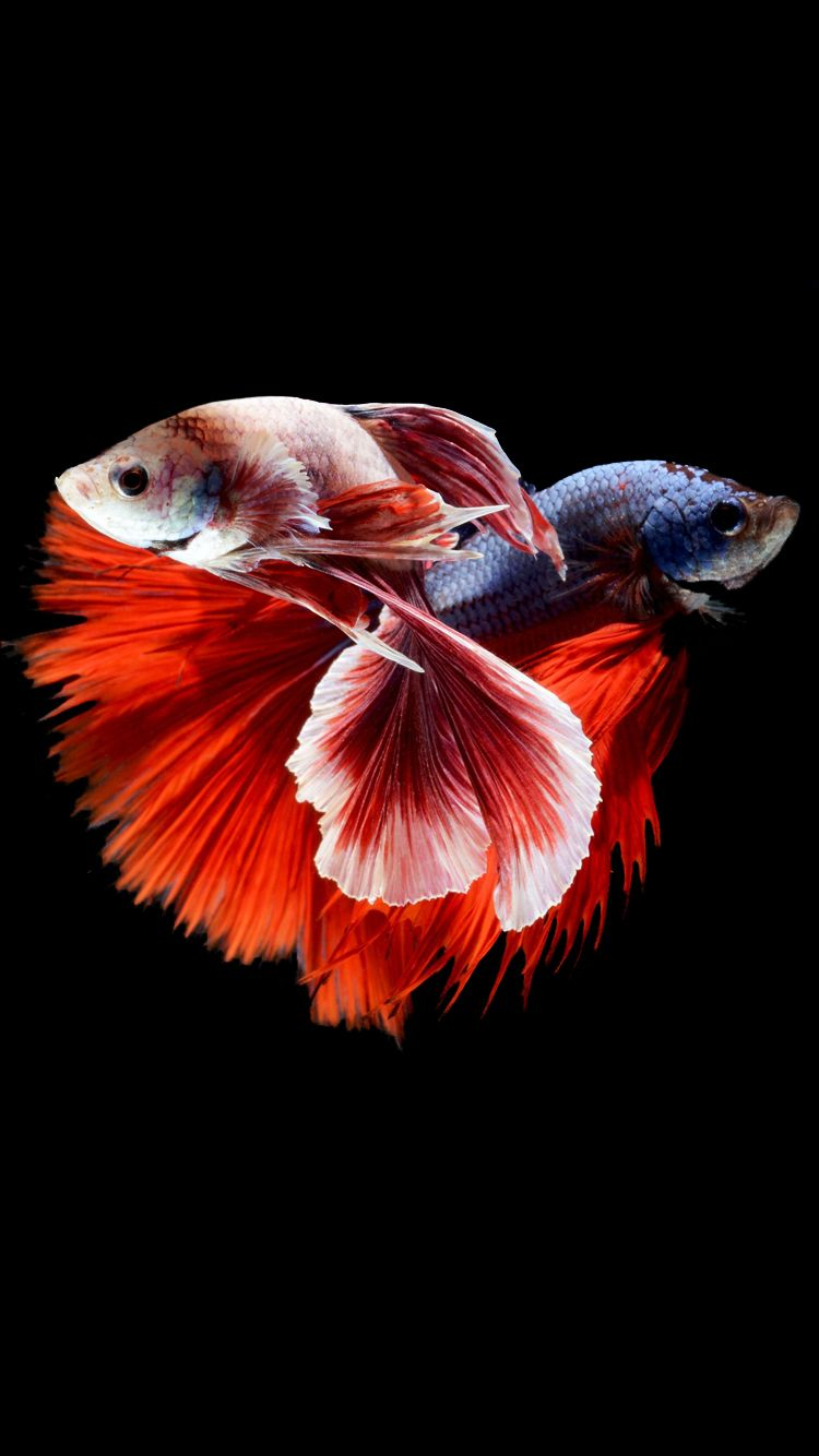 Apple Iphone 6s Wallpaper With Two Betta Fishes Fighting In Dark Background Siamese Fighting Fish Betta Fish Fish