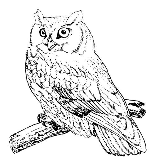 Owl Bird Coloring Page Kids Coloring