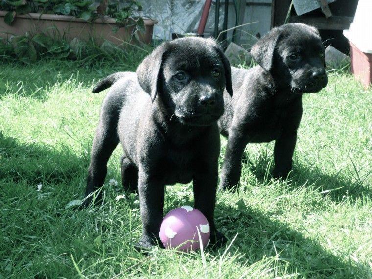 Black KC registered labrador male pup for sale