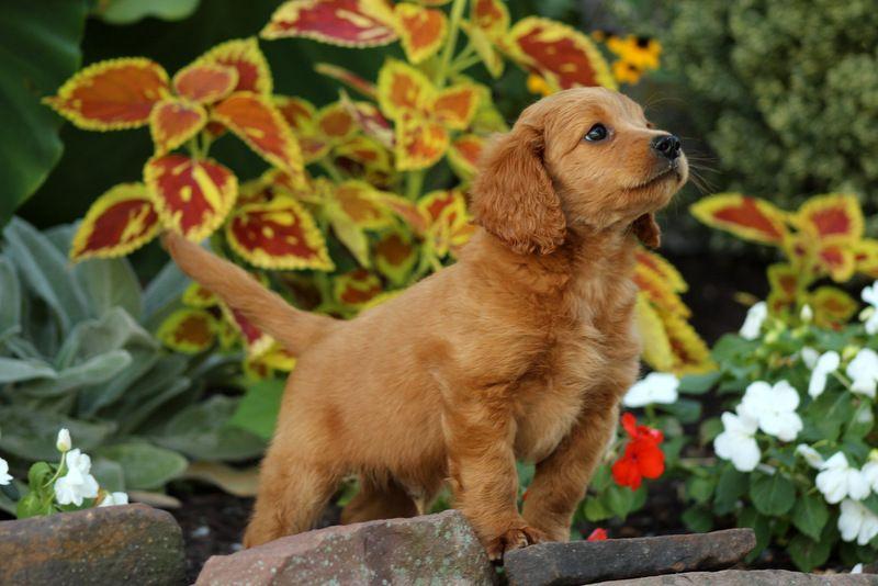 Jordy Silver Labrador Retriever Puppy For Sale in