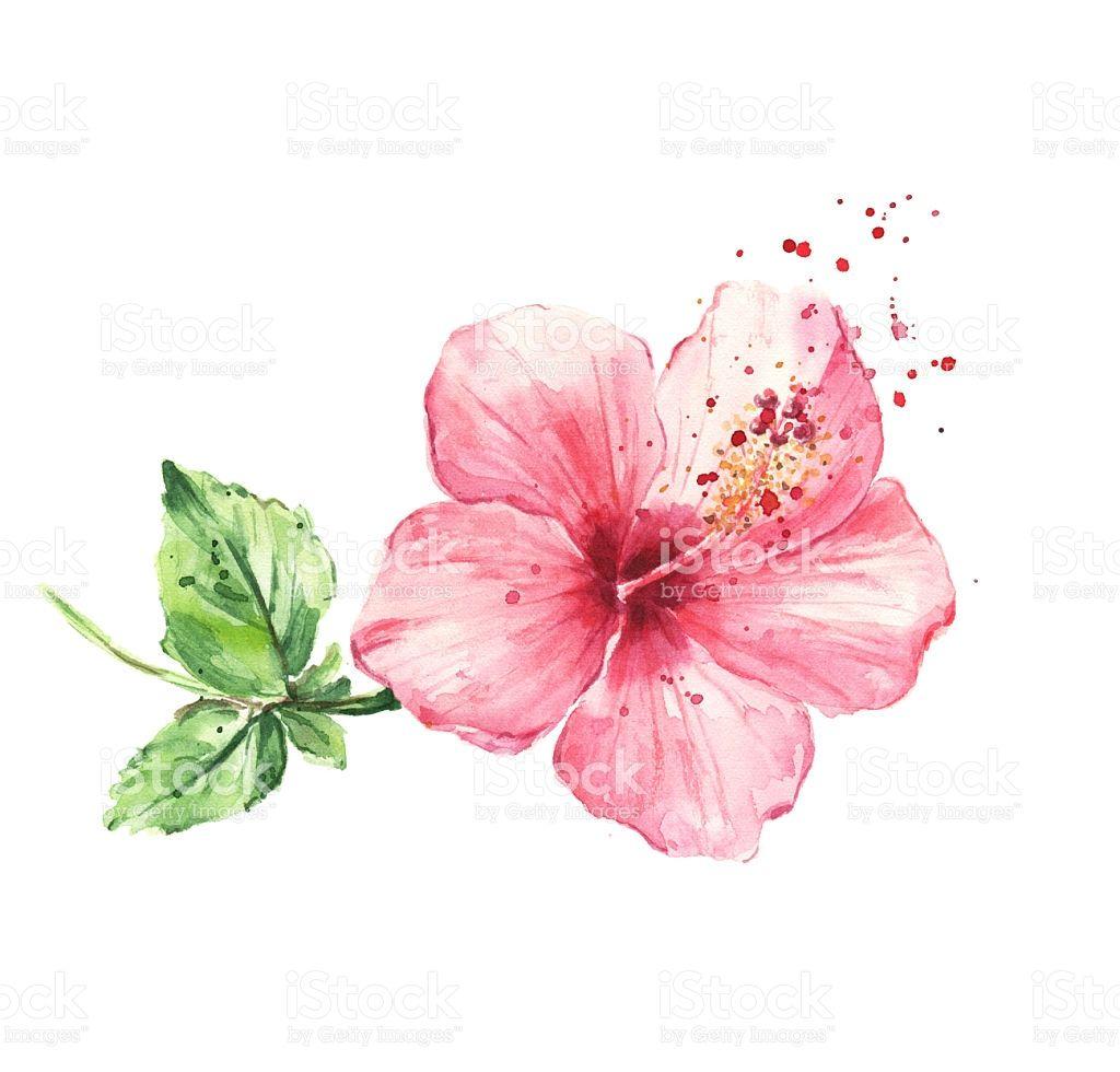 Hibiscus Flower Watercolor Painting Royalty Free Stock Illustration Tatuajes De Flor De Hibisco Flores Para Dibujar Tatuajes De Acuarela