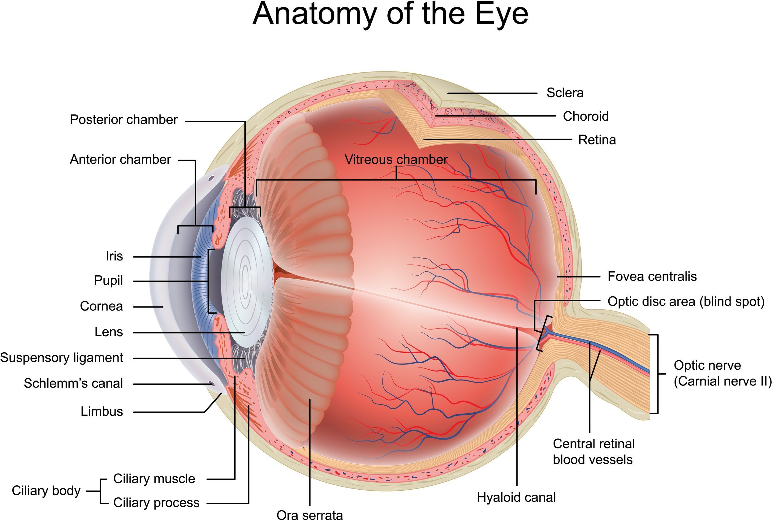 medium resolution of the screen of the eye eye health eye anatomy human body anatomythe screen of the