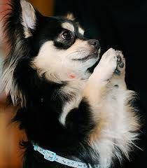 Praying chihuahua