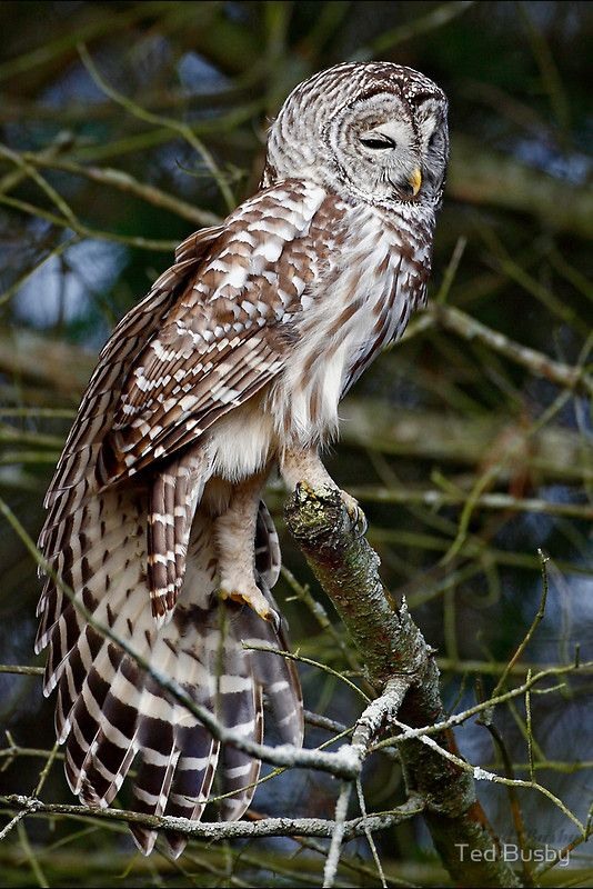 Three hoots today from Barred Owl  The Barred Owl's hooting