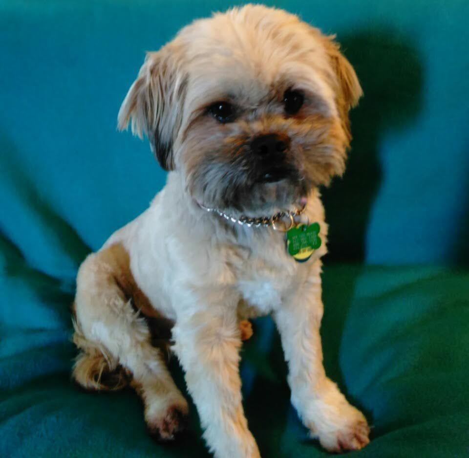 Shih Tzu Dog For Adoption In Euless Tx Adn 816865 On Puppyfinder Com Gender Female Age Young Dog Adoption Shih Tzu Dog Shih Tzu