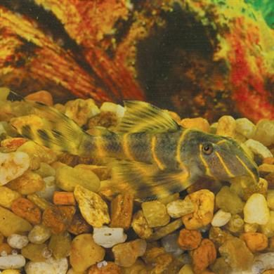 1 L333 Yellow King Tiger Pleco Size 1 25 Inch Plecostomus Species Catfish