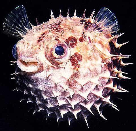 Pufferfish Blowfish Fugu Poison Sushi Beautiful Sea Creatures Puffer Fish Marine Animals