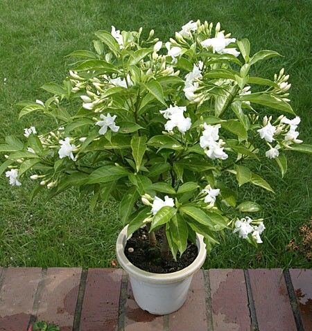 butterfly gardenia tabernaemontana divaricata to this fragrant indoor plant bears large clusters of semi double white flowers that bloom individually