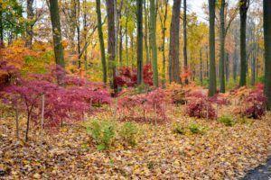 The Martha Stewart Blog : Blog Archive : My Colorful Japanese Maple Grove #japanesemaple The Martha Stewart Blog : Blog Archive : My Colorful Japanese Maple Grove