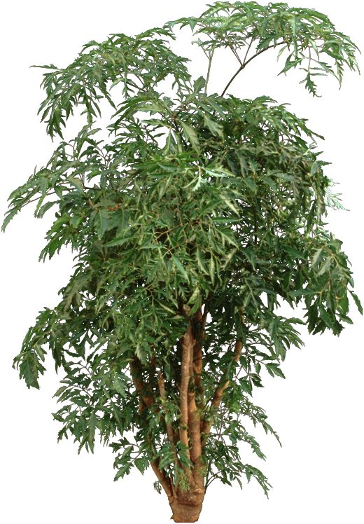 Unusual Houseplants The Distinct Leaves Of An Aralia Plant Can Be