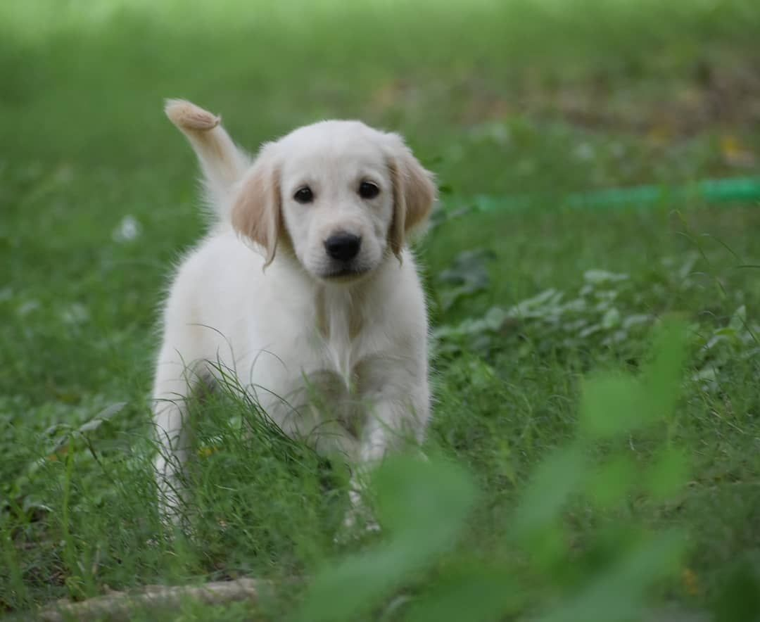 Insta Emmatxxoo Goldenretrieverspuppies Retriever Puppy Dogs Cute Dogs