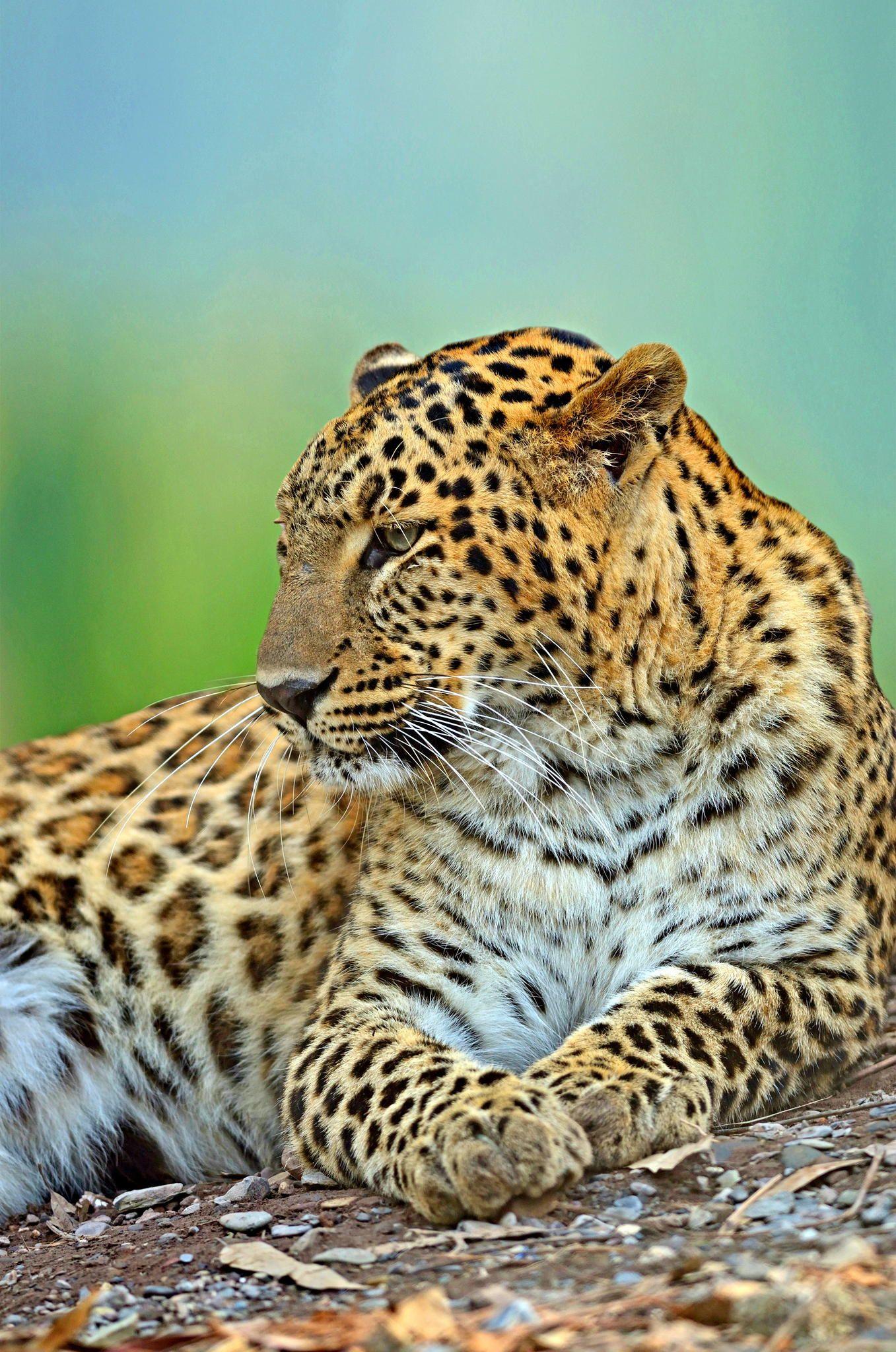 ~~Resting Beast | Leopard by Arun Bhardwaj~~