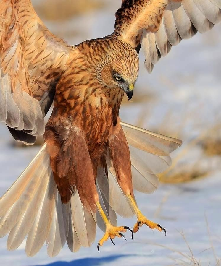 Google Aves Rapaces Aves Pájaros Hermosos