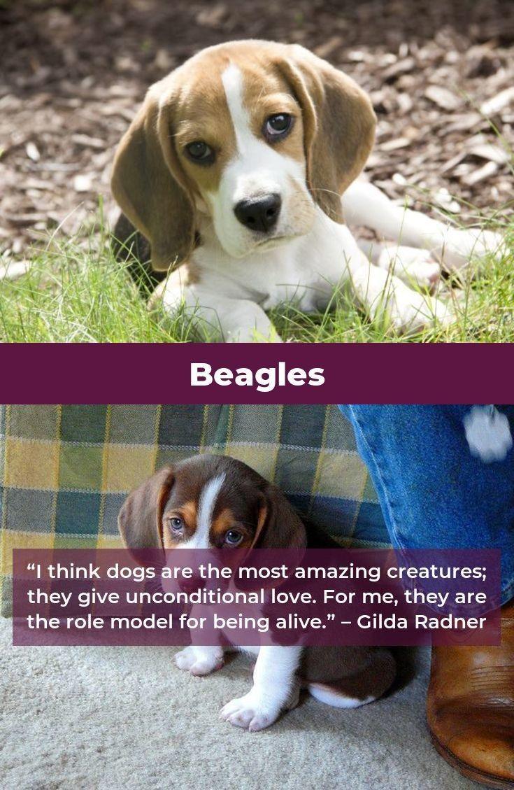 Beagle Dog Beaglegang Beagles Mix Beagle Beagle Dog Beagle
