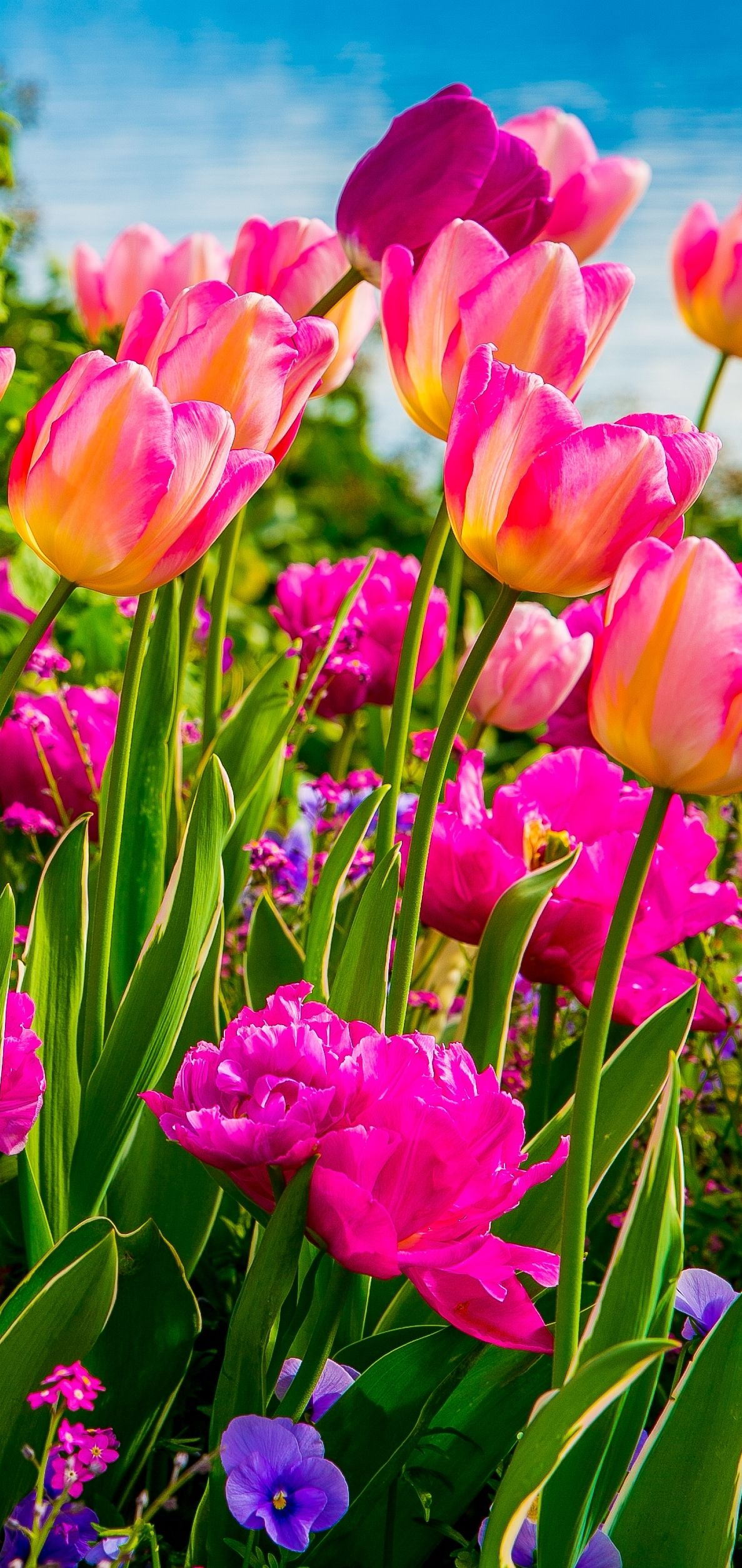 Pink and purple tulips, Flowers on Lake Geneva, with Swiss