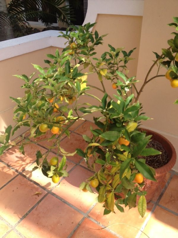 Kumquat Fortunella This Appears To Be Kumquat A Citrus Fruit Which Is Eaten Whole Rind And All A Popular Selection Citrus Trees Citrus Fruit Kumquat Tree
