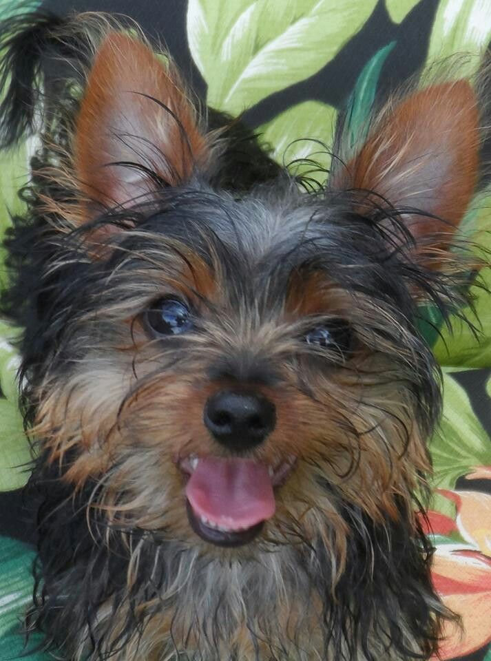 Our Rascal Smoochie Chewbacca Yorkie Pup He Just Turned 5 Months