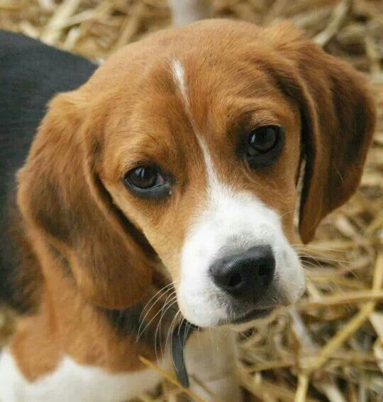Ohhhhh That Sweet Face Beagle Puppy Puppy Portraits