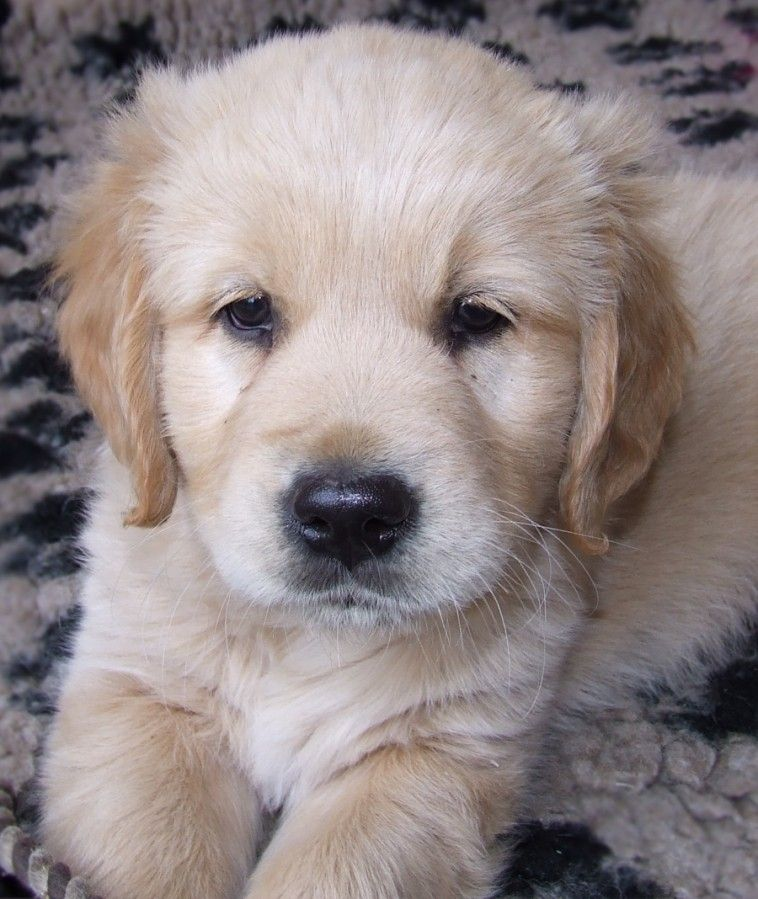 Golden Retriever Welpe Dog Lovers Dogs Golden Retriever Dogs