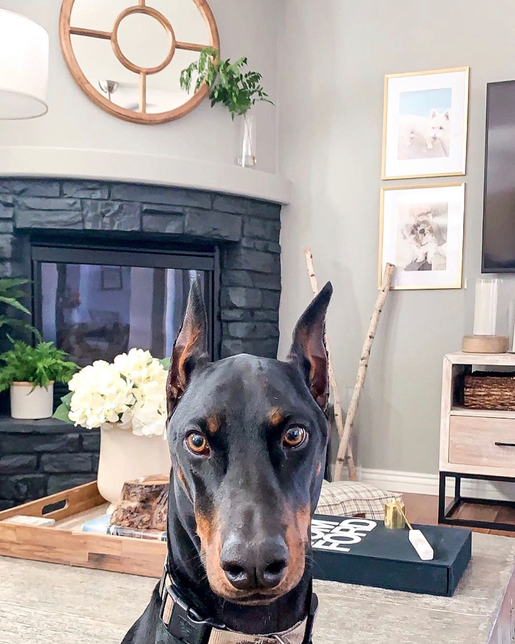 Doberman Basics 101 The Needy Stare Doberman Pinscher