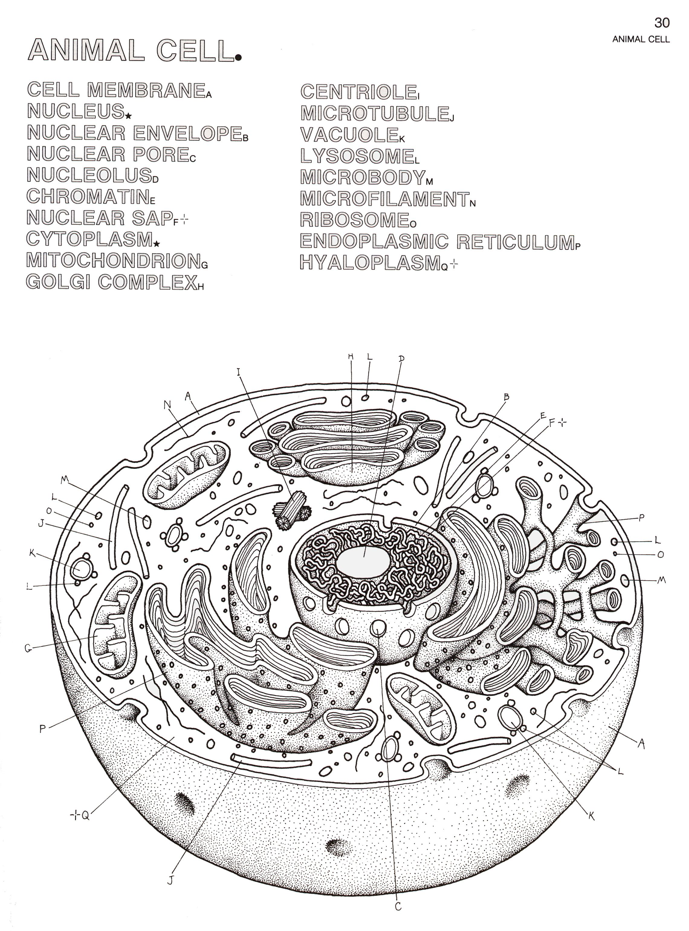 animal cell coloring sheet page diagram pages color