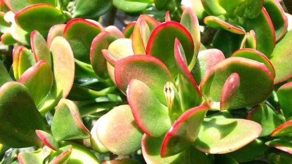 Cultivo y cuidados del árbol de jade