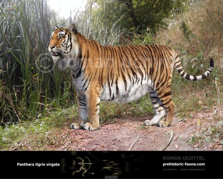Caspian Tiger Or Turanian Tiger Extinct Subspecies Of Tigers In Central Asia The Caucasus And Northern Iran Thi Caspian Tiger Panthera Tigris Tiger Species