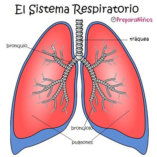 Pulmones Para Dibujar Con Sus Partes Busqueda De Google Sistema Respiratorio Livros Sensoriais De Feltro Respiratorio