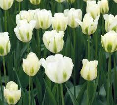 tulp spring green - Google zoeken