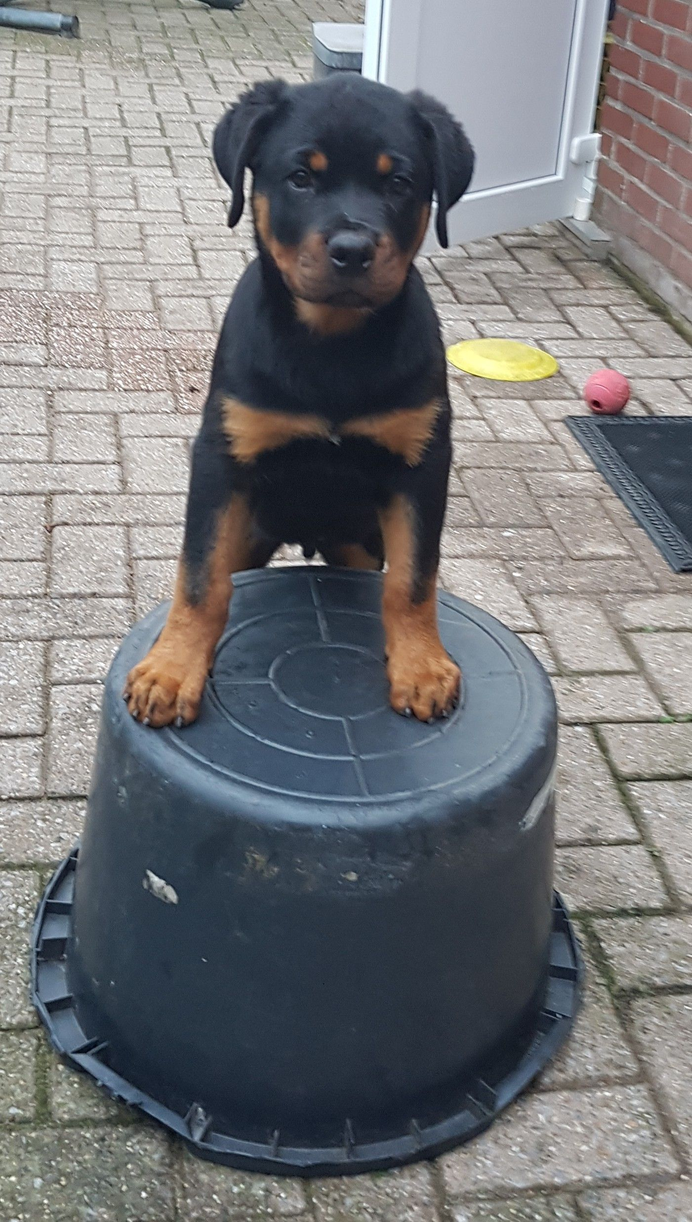 Pin By Rose Maurer On Rottweilers Rottweiler Puppies Rottweiler