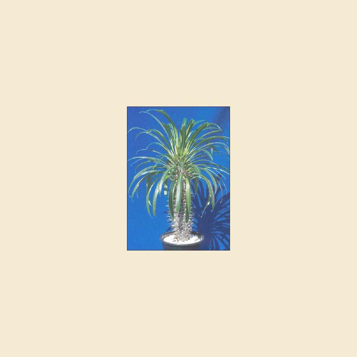 Madagaskar Palme Sukkulenter Tropica Scandi Den Originale Eksotiske Fra Og Plantehandel