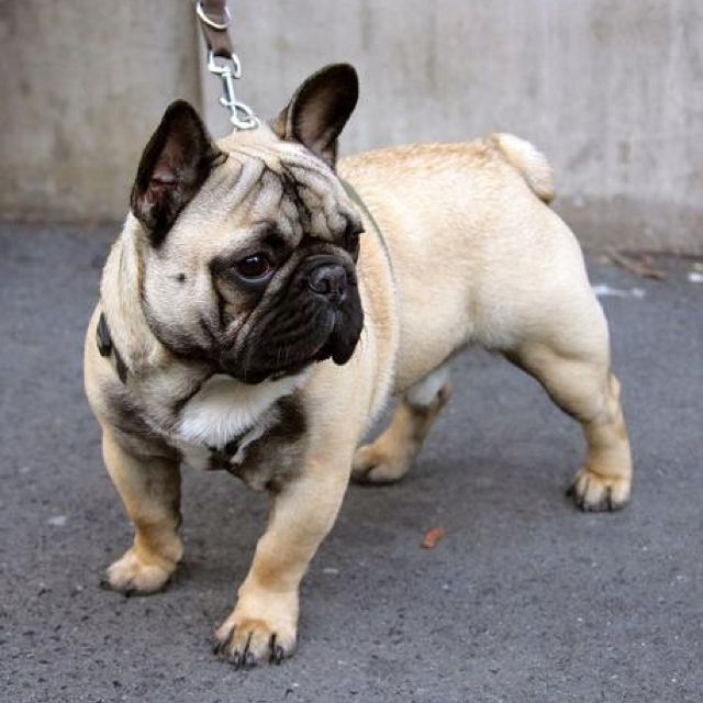 Love This French Bulldog 3 Is My Favorite Animals French
