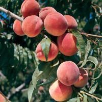 Burbank July Elberta Peach From Stark Bro S Peach Trees Peach Growing Peach Trees