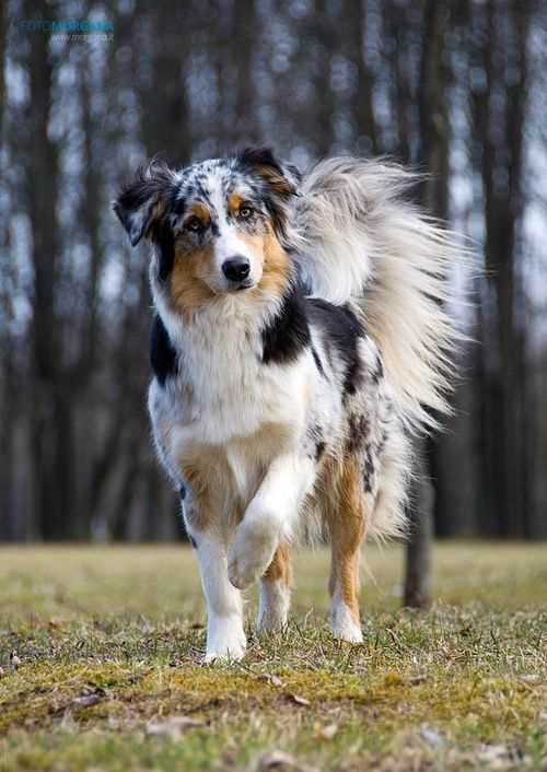 Tri Color Border Collie Prancing Dog Australian Shepherd Dogs
