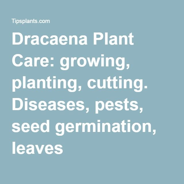Dracaena Plant Care: growing, planting, cutting. Diseases, pests, seed germination, leaves
