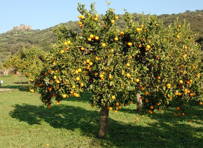 laranjeira (safra: agosto, setembro, outubro, novebro e dezembro)