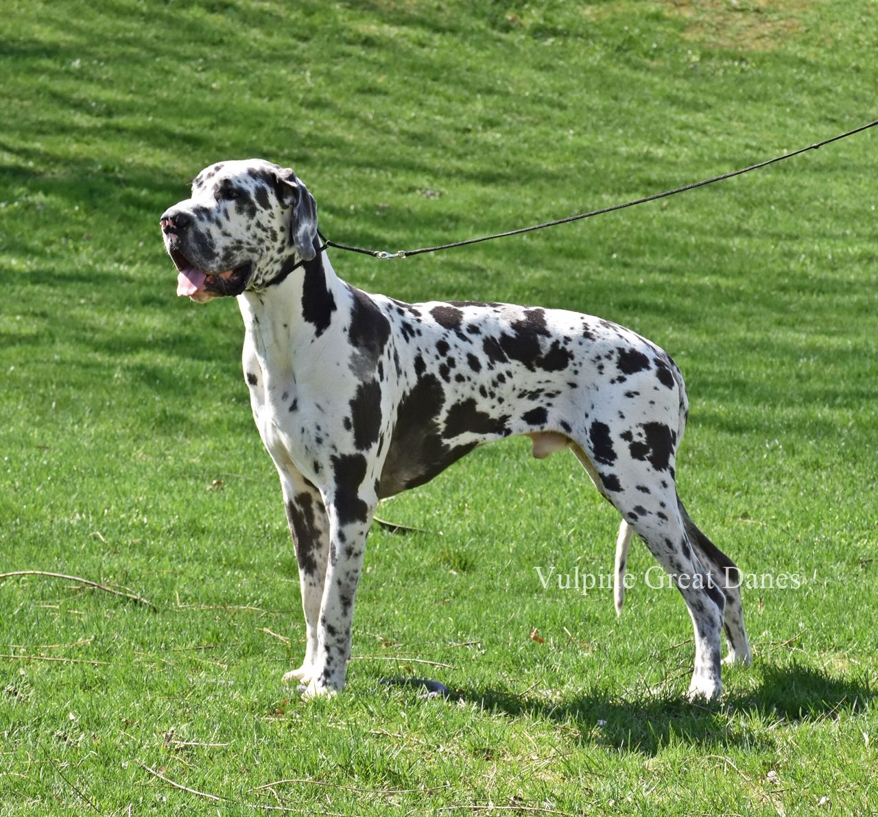 Blue Harlequin Male Murphy Great Dane Blue Harlequin