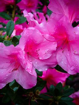 Encore Azaleas For Sale Online The Tree Center Azalea Flower Flower Essences Flowers