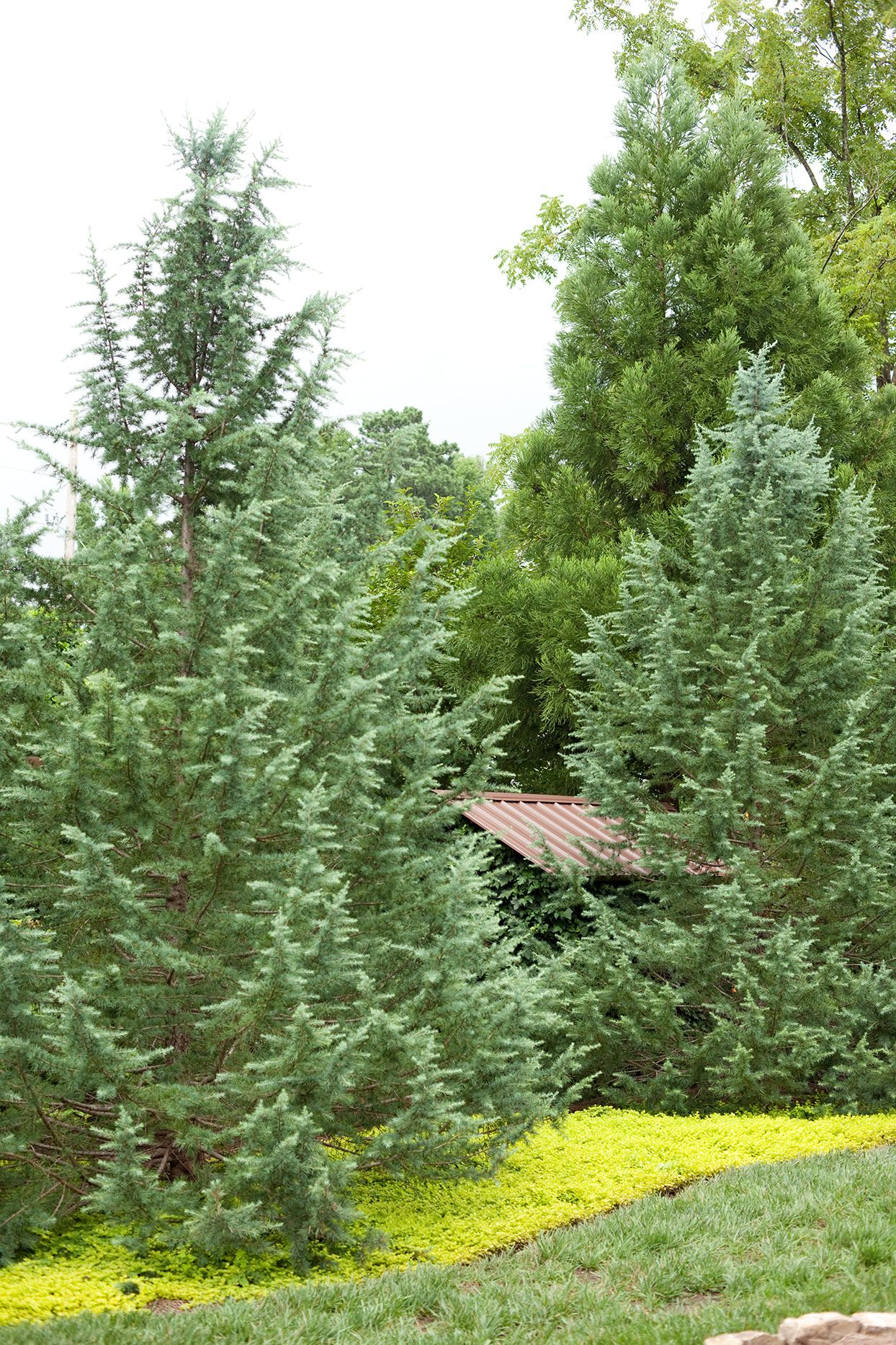Fast Growing Evergreen Trees To Quickly Transform Your Landscape In 2020 Fast Growing Evergreens Fast Growing Pine Trees Fast Growing Trees
