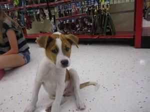 Adopt Patches On Hound Dog Adoption Dogs