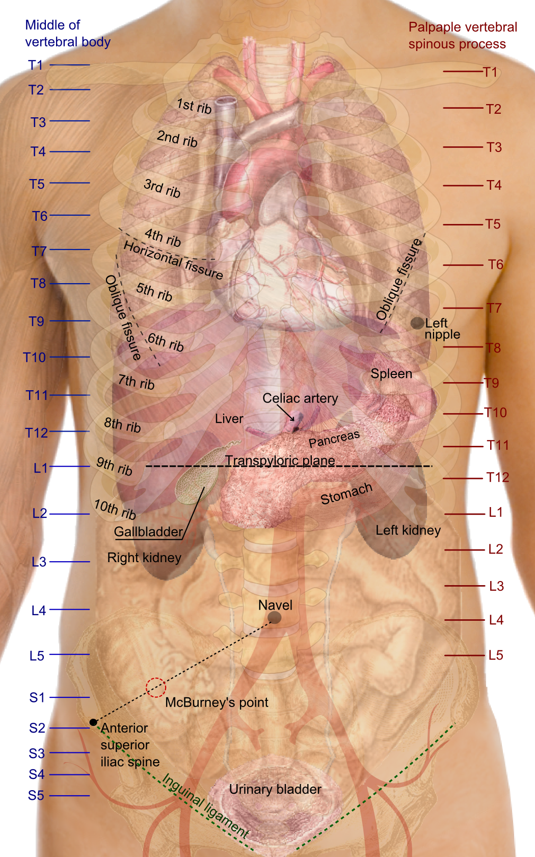 This Is A Great Board For Anatomy Resources Httppinterest