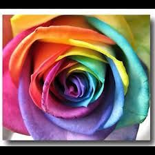 Have you ever seen a rainbow rose?