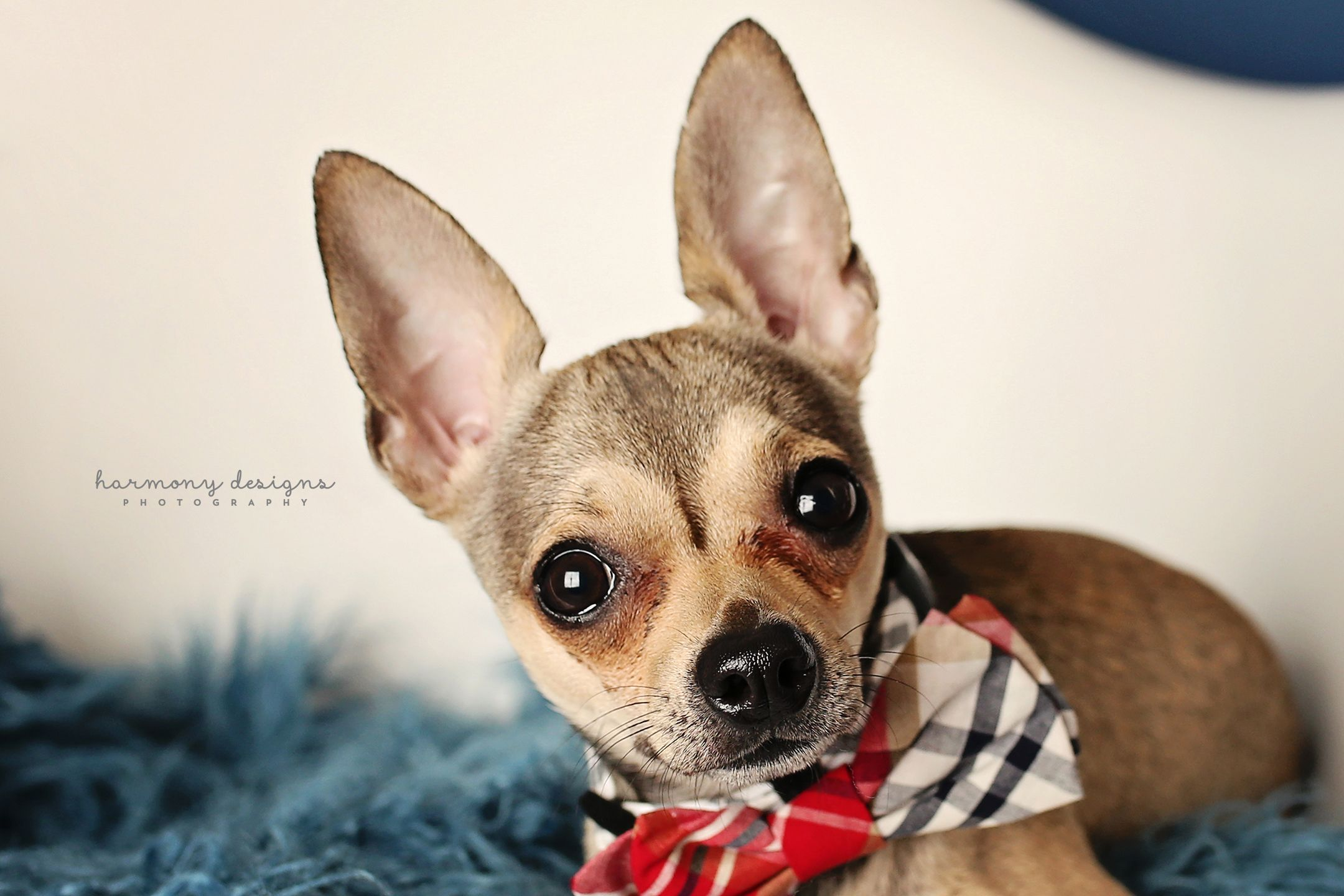 Chihuahua Dog For Adoption In Nashville Tn Adn 556332 On