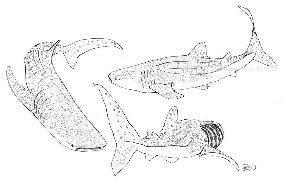 Whale shark sketches. http://www.jenrichardsart.com